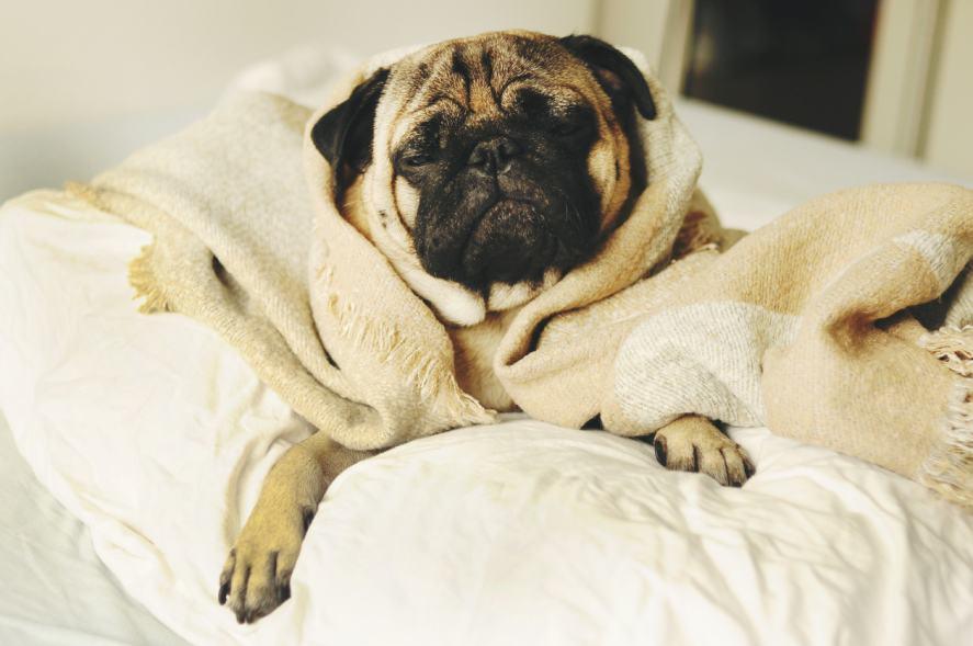 A pug relaxing in a luxury bathrobe