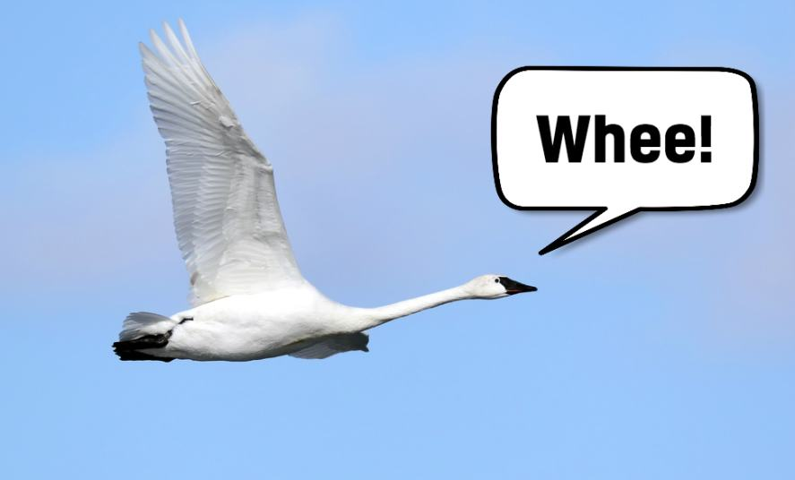 A trumpeter swan flying through the air