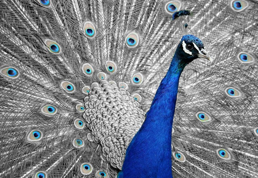 A peacock with beautiful feathers