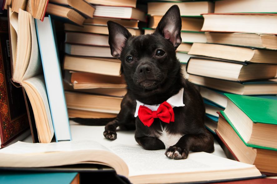 A dog in a bowtie reading a book