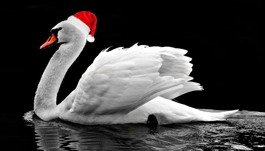 A swan wearing a tiny Christmas hat