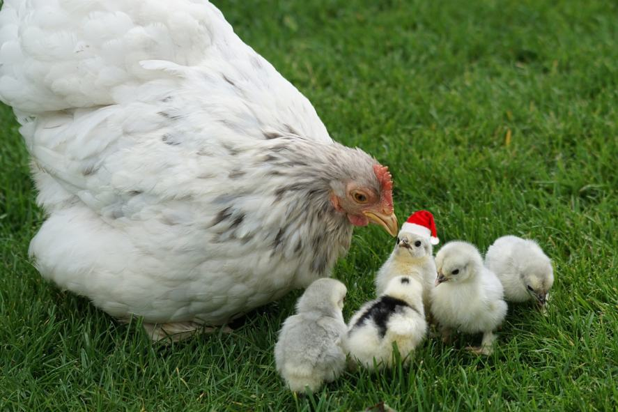 A group of chickens, one of whom is wearing a Santa hat