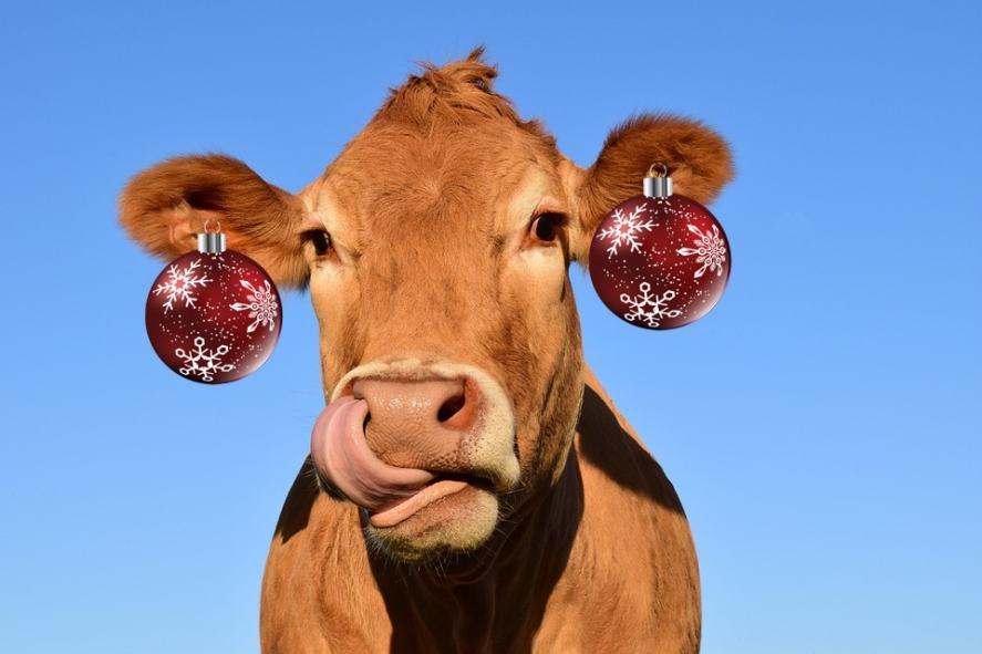 A cow wearing stylish bauble earrings