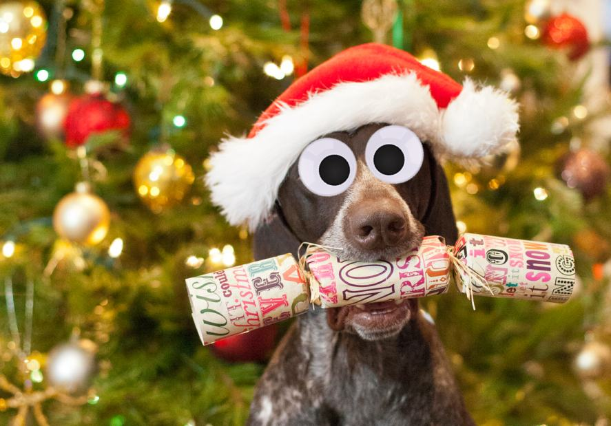 The Ultimate Christmas Trivia Quiz: A dog holding Christmas cracker in his mouth.