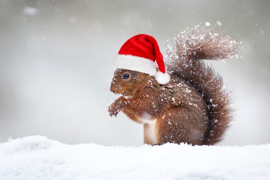 A squirrel wearing a Santa hat