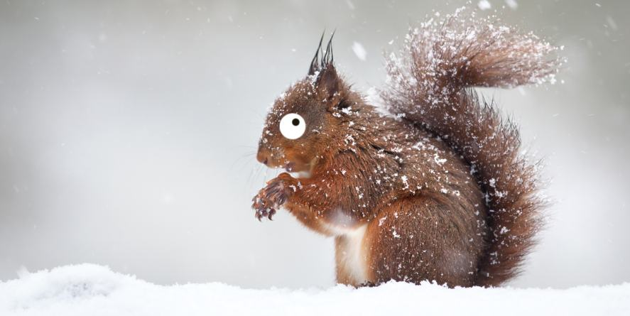 A red squirrel in the snow