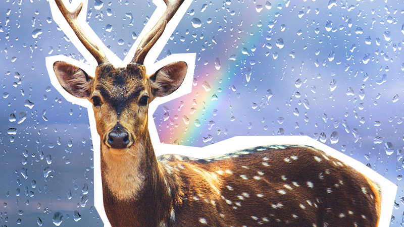 A reindeer looking out into the distance with a rainbow behind it