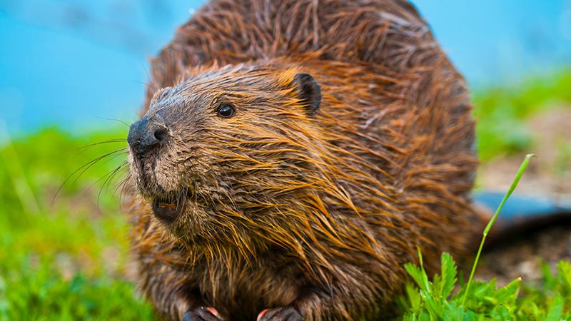 A smiling beaver