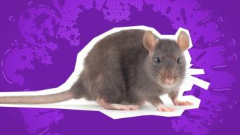 Funny mouse jokes: a mouse on a purple background