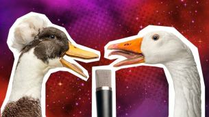 Funny duck jokes: a duck and a swan singing