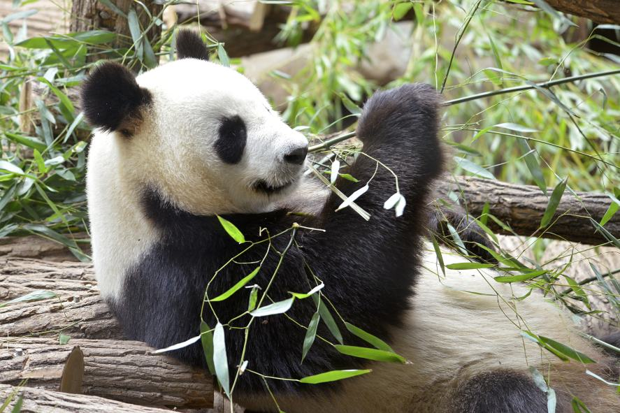 A panda eating their lunch