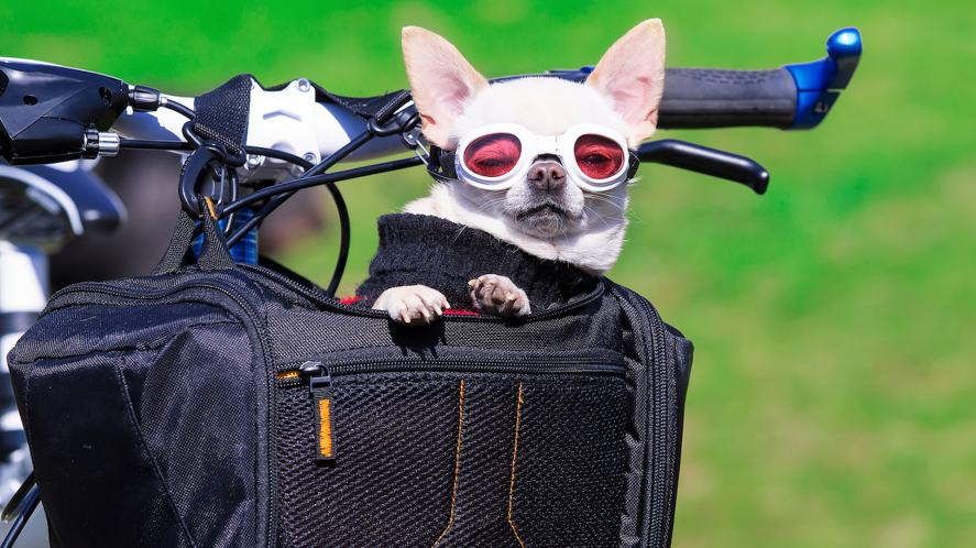 A chihuahua in a bicycle basket, wearing cool goggles