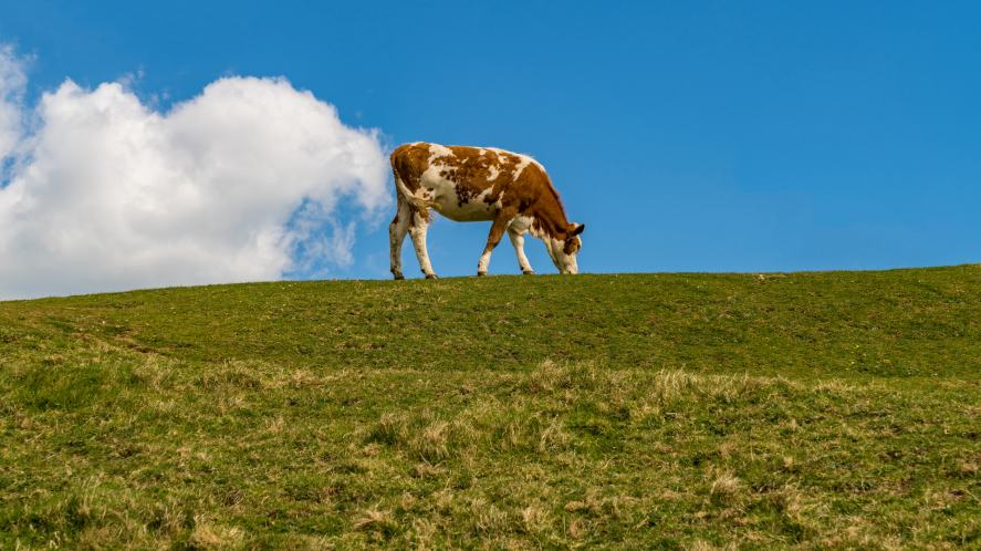 A cow farting on a big hill