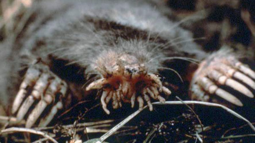 A star-nosed mole