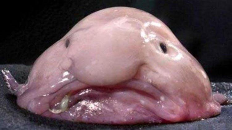 A blobfish