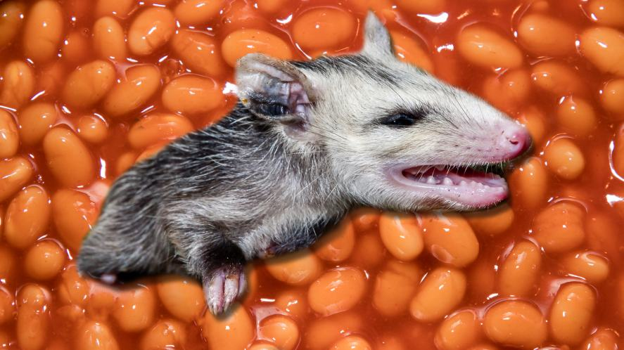 An opossum in a cold bucket of beans