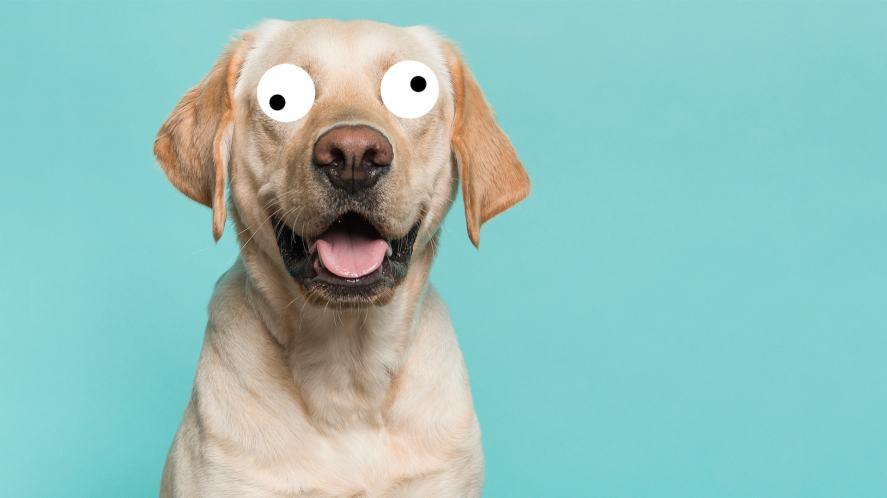 A blond labrador retriever dog