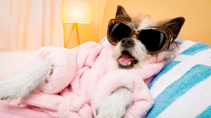 A dog in a dressing gown being quite the diva