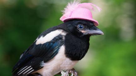 A flamboyant magpie