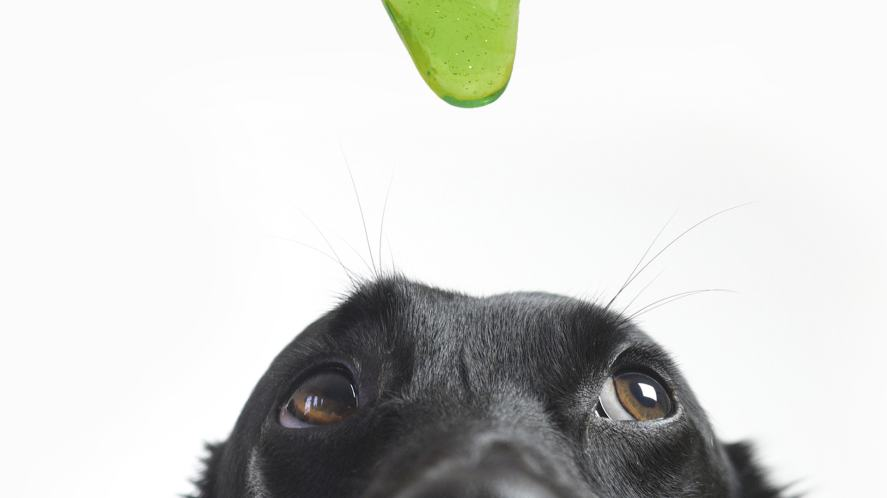 Slime dangles over an unimpressed labrador