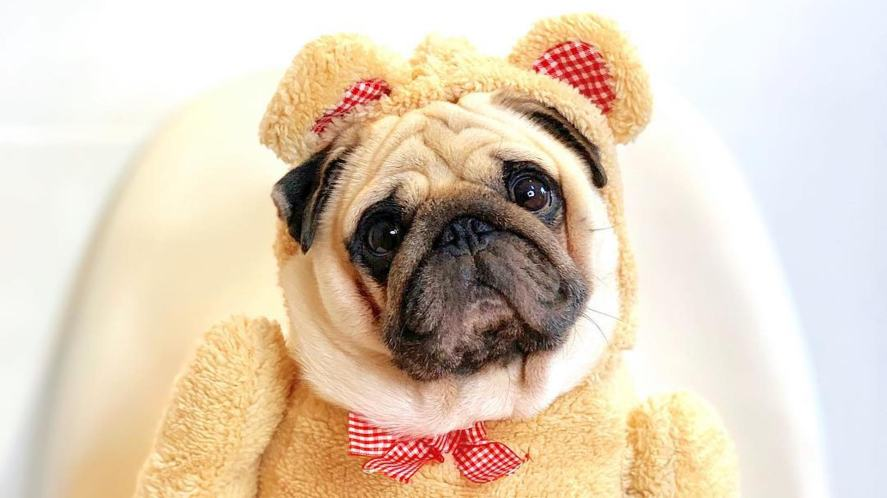 Puggy Smalls dressed as a bear
