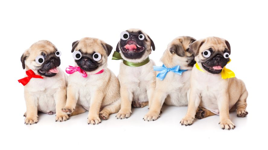 A group of pugs