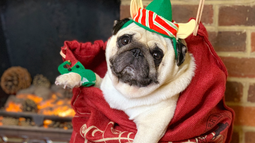 Puggy Smalls dressed as an elf