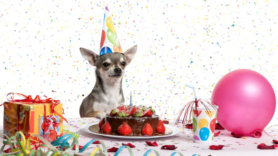A Chihuahua celebrating a birthday in style