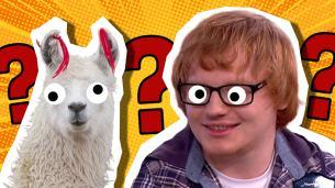 A llama and Ed Sheeran lookalike