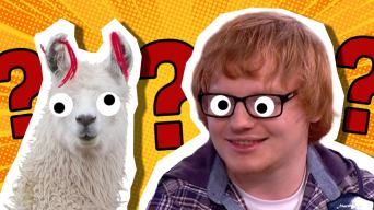 A llama and Ed Sheeran lookalike