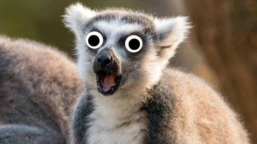 A ring-tailed lemur looking shocked
