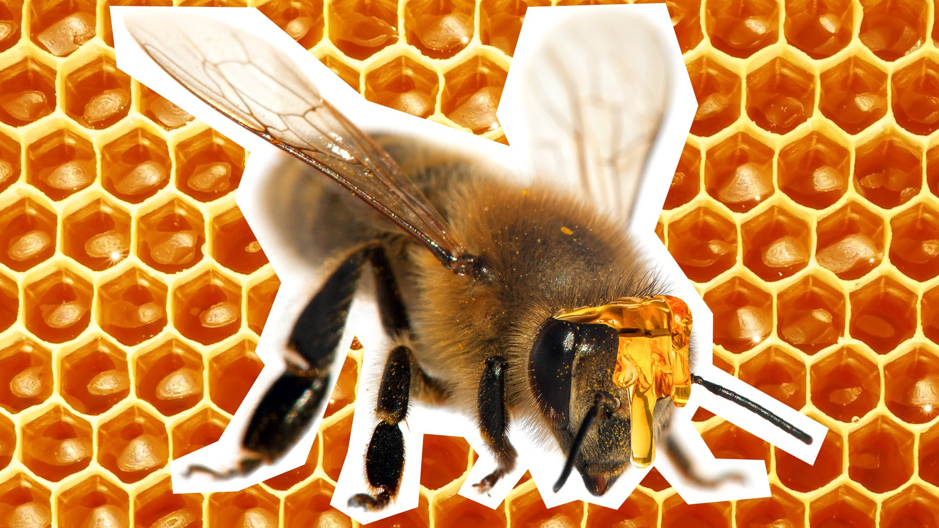 A bee on a honeycomb background. Why do bees have sticky hair? | Why was the bees hair sticky?