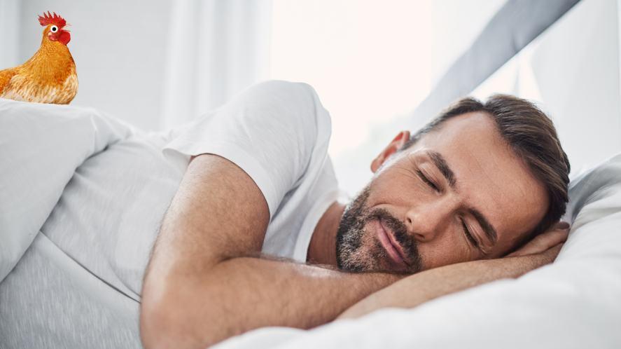 A cockerel tries to wake a sleeping man