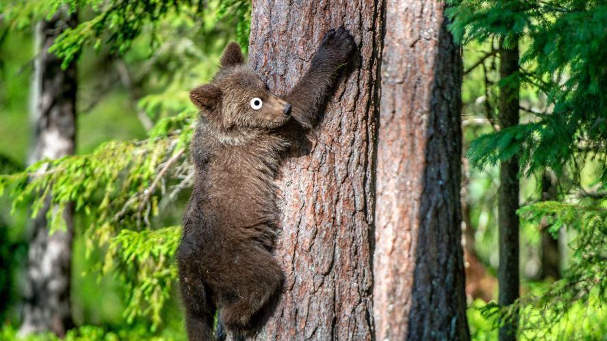 A bear climbing a tree