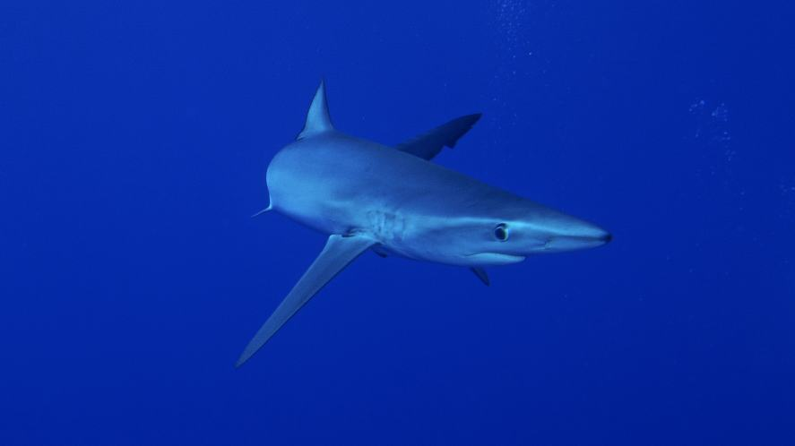 A blue shark