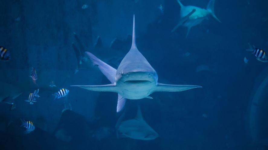 A silvertip shark