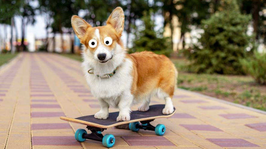 A corgi on a skateboard