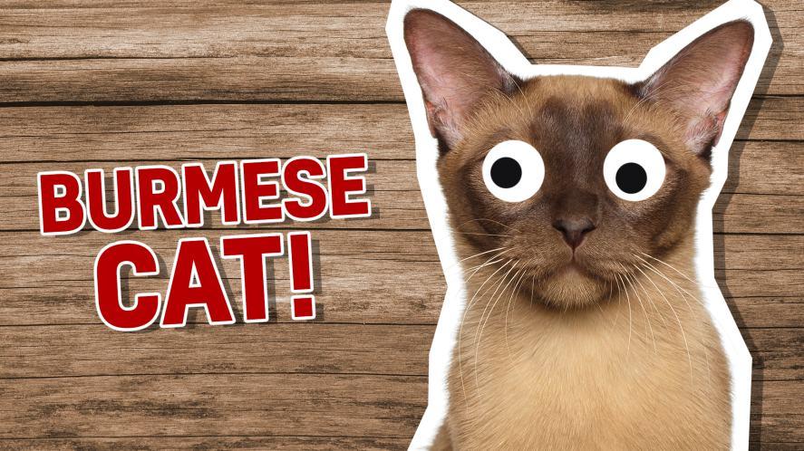 A Burmese cat