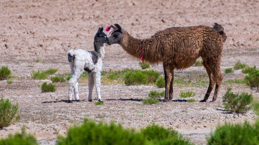 A llama and its baby