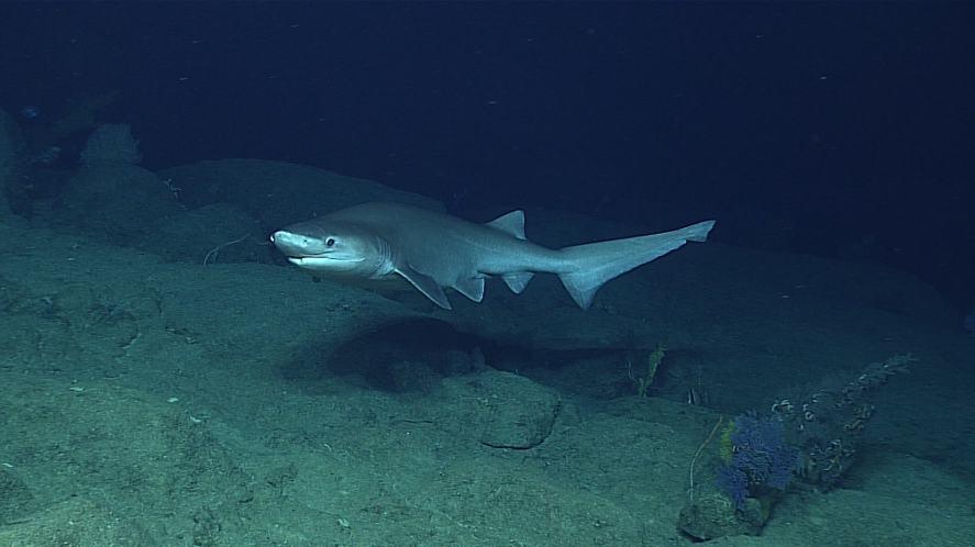 A bluntnose six gill shark