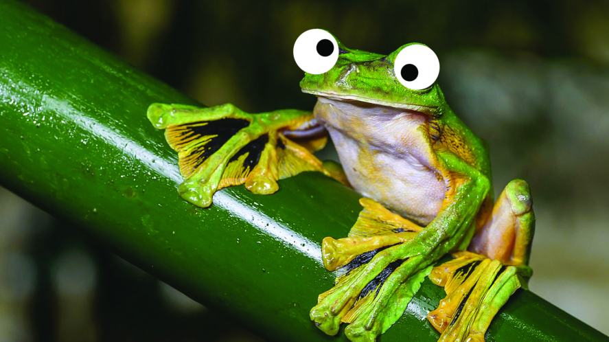 Wallace's flying frog or the Abah River flying frog