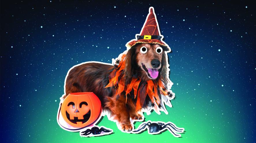 A dachshund in fancy dress