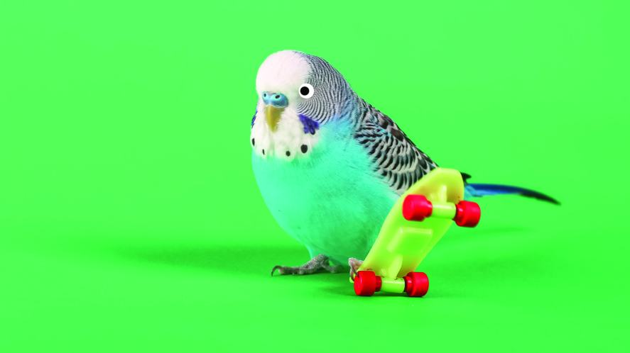 A budgie on a skateboard