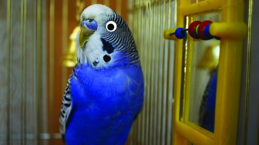 A budgie unaware they have a mirror