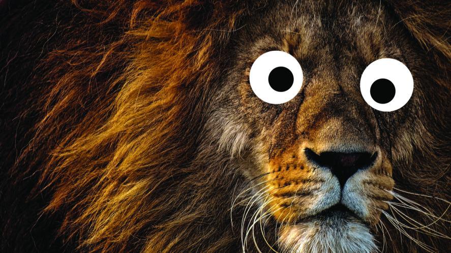 A cross-eyed lion