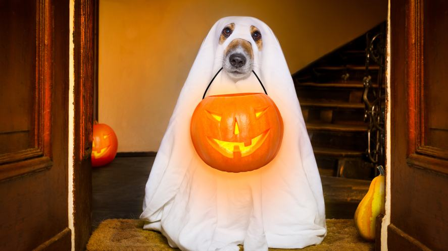 A dog dressed up for Halloween