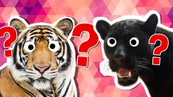 Big cat personality quiz