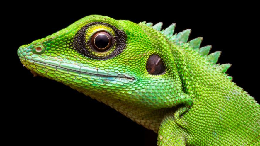 Head shot closeup of Green Crested Lizard