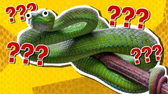 Poisonous pit viper quiz