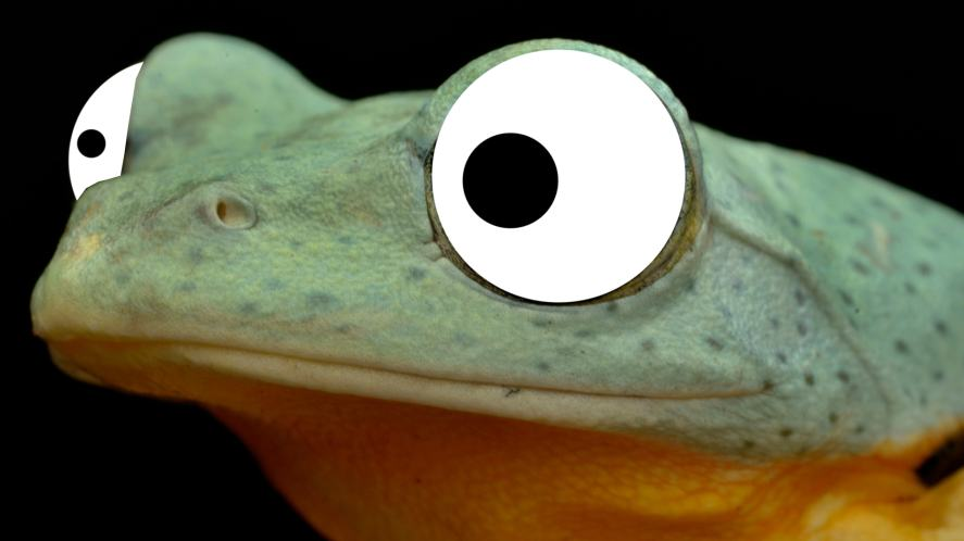 A close up of a Wallace's flying frog's face